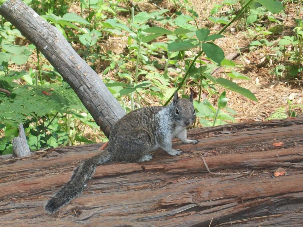 Dyr i Yosemite National Park