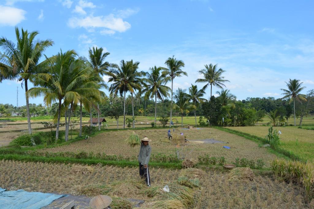 Rismarker Lombok