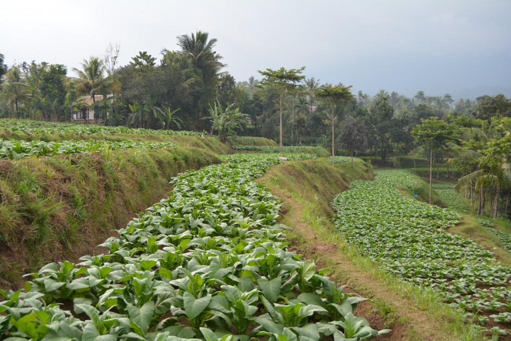 Kaffe plantage Lombok