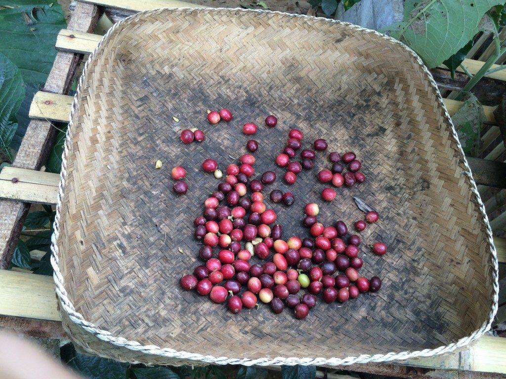 Luwak kaffe Bali