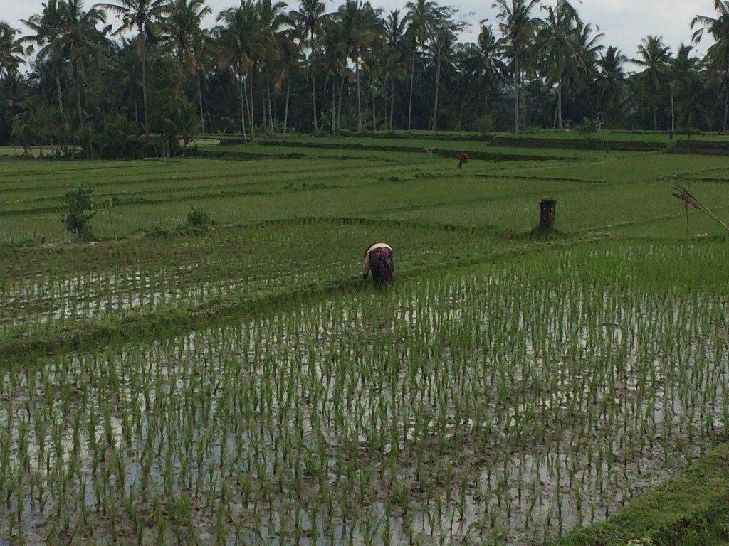 Ris Bali