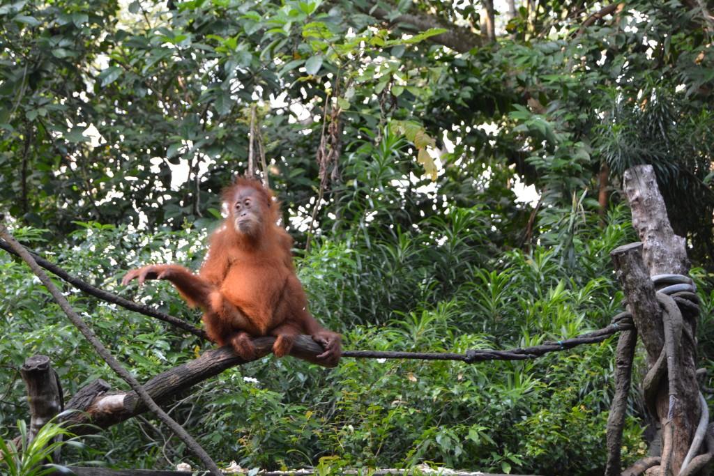 Morgenmad med Orangutangs, Singapore zoo