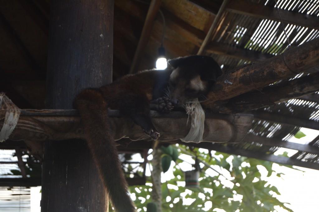 Luwak Bali